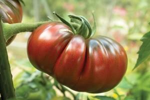 Les tomates noires de Crimée