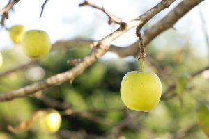 Tout savoir sur la pomme
