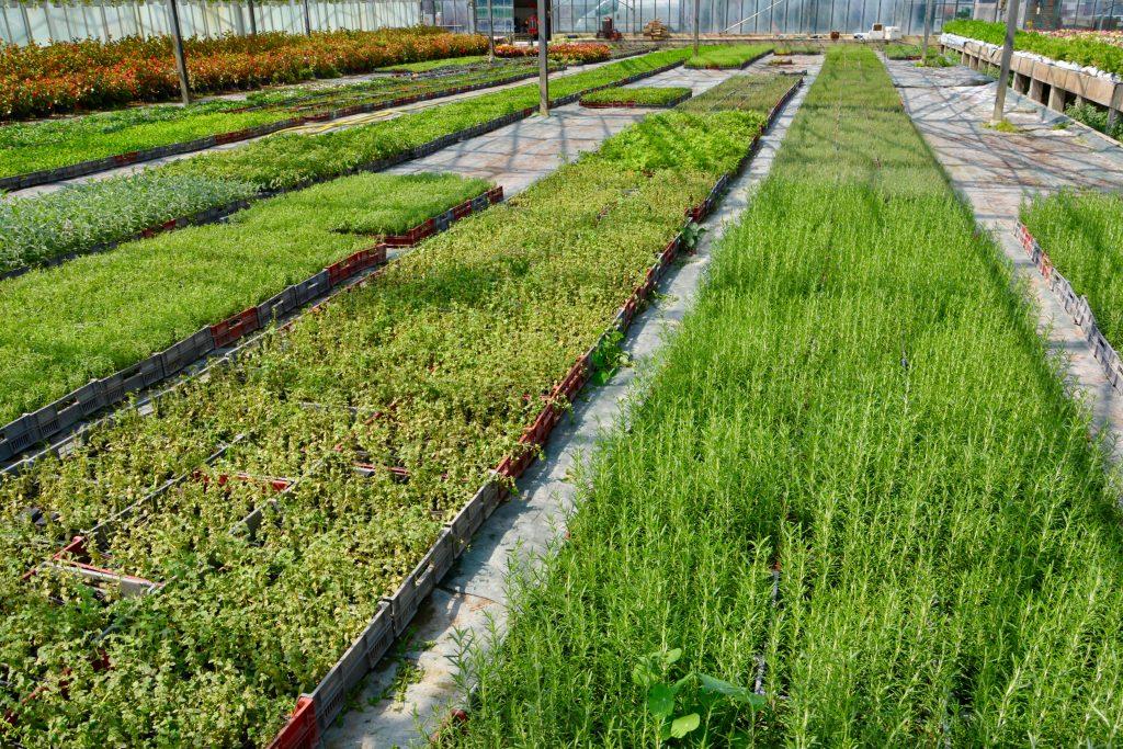 Rangées d'herbes aromatiques sous serre chez Marius Auda